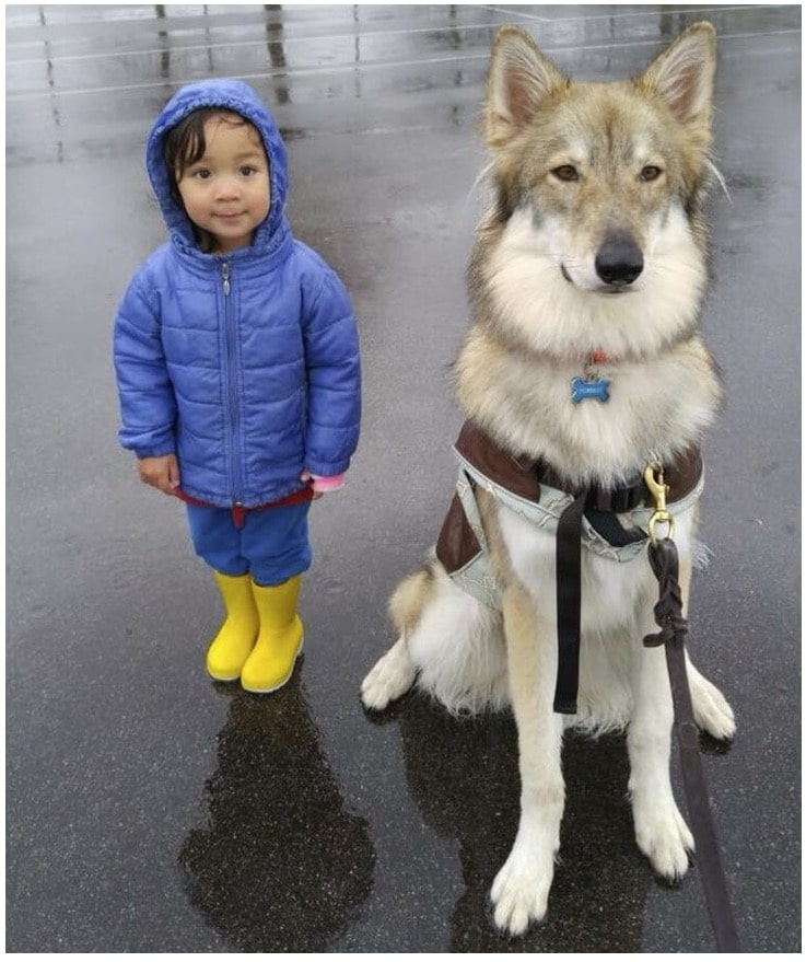 Un chien loup tchécoslovaque garde une fillette