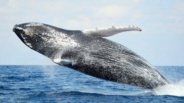Vacances d'été : une énorme baleine repérée à Gruissan dans l'Aude