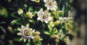 Santé : Découvrez les 10 meilleures plantes qui nettoient vos poumons et préviennent la bronchite, l'asthme et le rhume !
