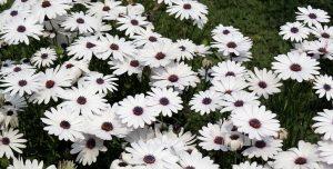 Pyrèthre : le meilleur ami de votre jardin, il s'agit d'un pesticide naturel qui demande des précautions
