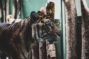 Comment aider à sauver les tigres : Comment peut-on agir pour sauver les tigres ?